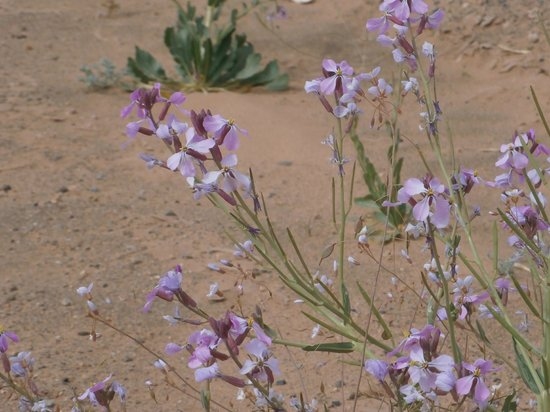 Moroccan Sahara : flowers along the road