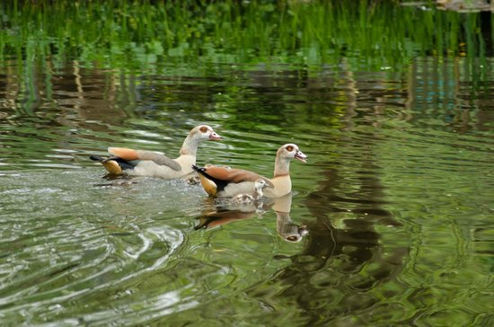 Vondelpark: Egyptian geese and babies