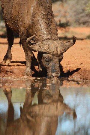 Mokala National Park: Buffalo