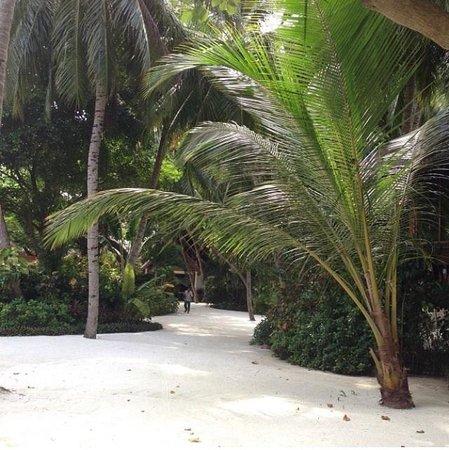 Baros Maldives : Palm tree.