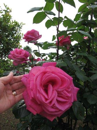 Savoia Hotel Regency : Grandiose rose nel giardino dell'albergo