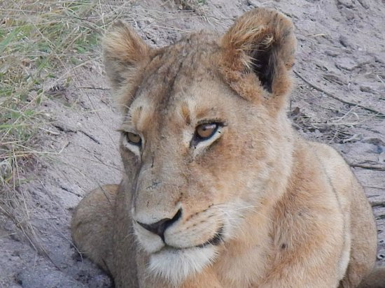 Idube Game Reserve Lodge : Lioness on drive