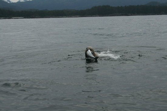 Growley Bear Lodge: A seal got this Salmon