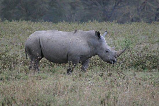 Lake Nakuru Lodge: rinoceronte