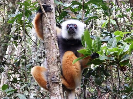 Andasibe Hotel: Sifaka at nearby Perinet park