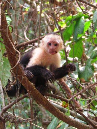 Osa Green Travel: Capucin mangeant des bananes dans les arbres