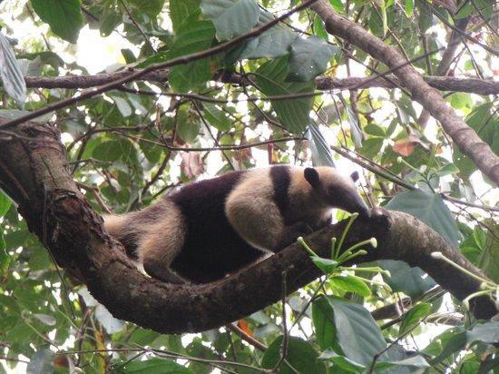 Osa Green Travel: Fourmilier