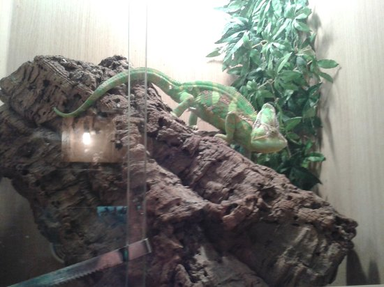 The Reptile Experience: Chameleon