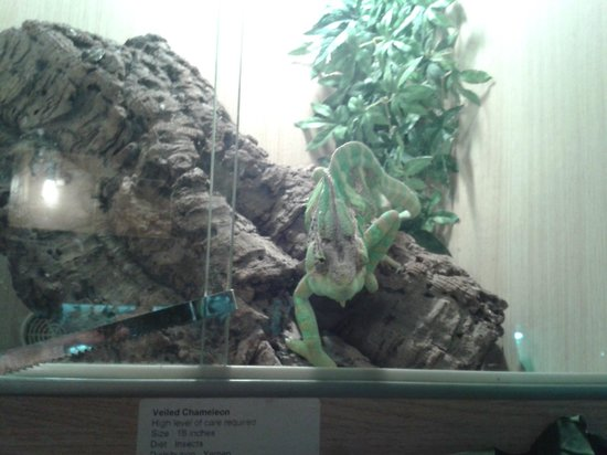 The Reptile Experience: Chameleon again