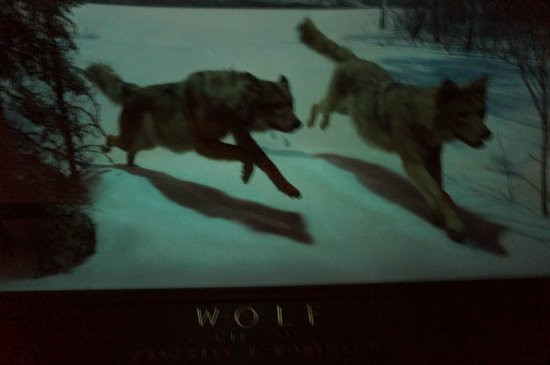 American Museum of Natural History : wolves