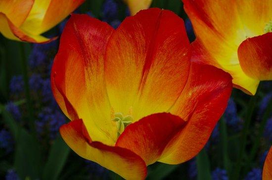 Lindbergh Day Tours : Beautiful tulips in Keukenhof
