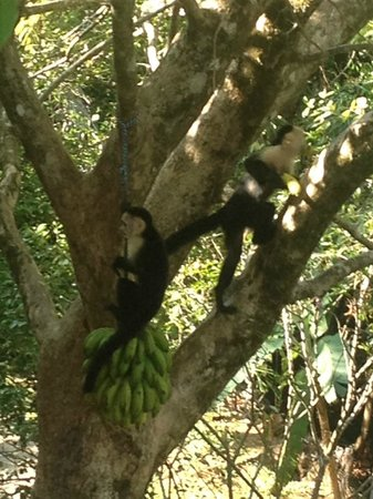 Villas Alturas : These white face monkeys came by everyday, Tom puts out the bundle of bananas for them