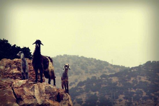 L'Ane Vert : mountain goats