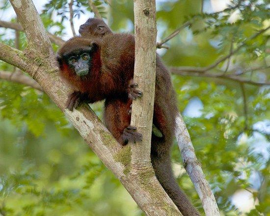 Amazonia Expeditions' Tahuayo Lodge: Titi Monkey
