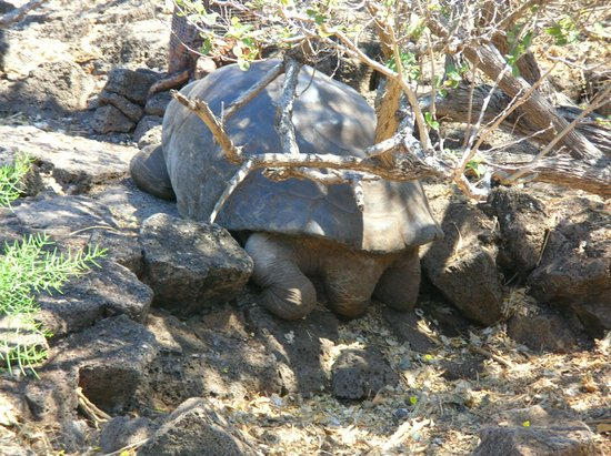 Charles Darwin Research Station : Tortoises