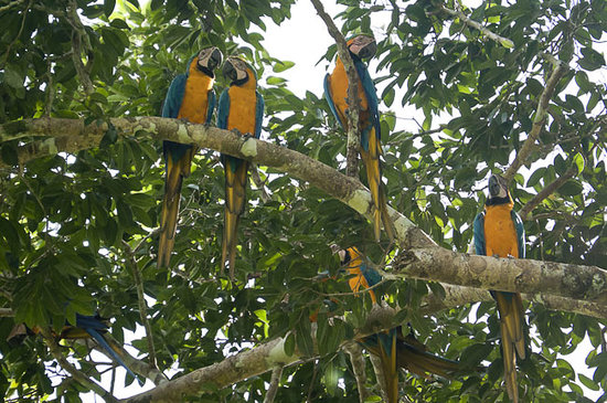 Amazonia Expeditions' Tahuayo Lodge: Blue and Yellow Macaw