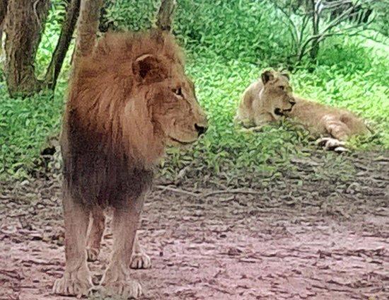 Protea Hotel Lusaka Safari Lodge: Grunting feline friends