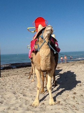 Djerba Holiday Beach : Cammello in spiaggia