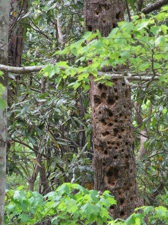 Sweetgum Swamp Trail : Holey tree.