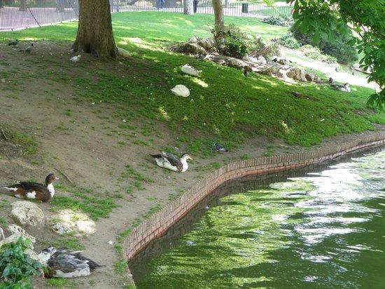 Parque del Retiro: Ducks