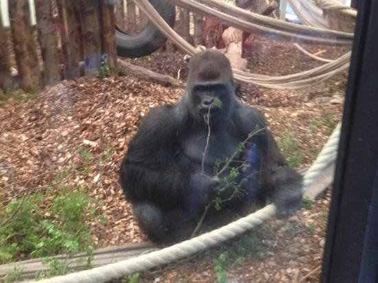 ZSL London Zoo : le repas du gorille