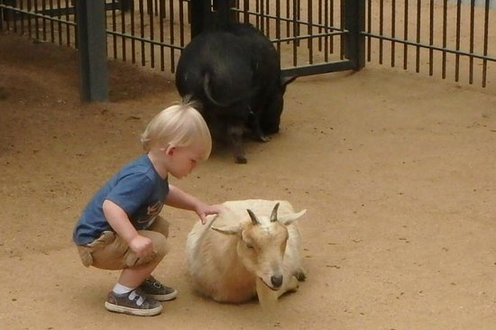 San Antonio Zoo: My son petting a mellow goat