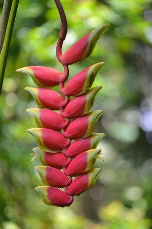 Hawaii Tropical Botanical Garden: Heliconia