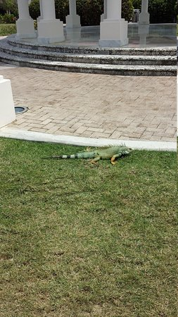 Melia Coco Beach: Iguana on Resort Grounds