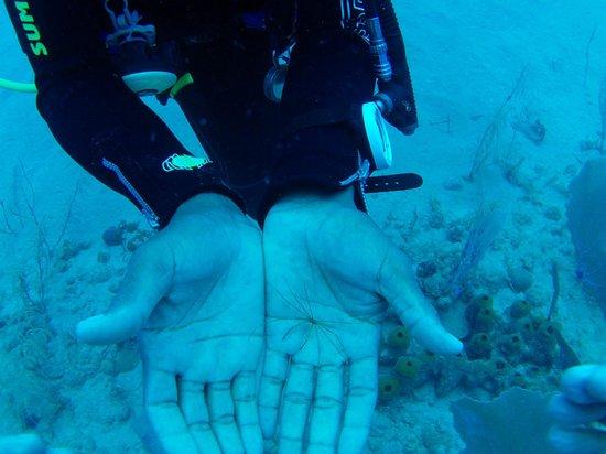 Diwa Dominicana: underwater spider found by Analdo