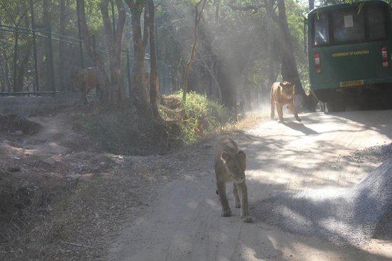 Bannerghatta National Park : lion