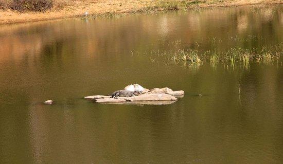 Bannerghatta National Park : crocodile