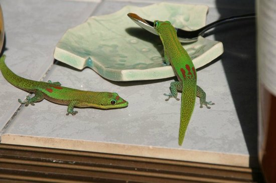 Aloha Guest House: 甘いものを見つけたGecko2
