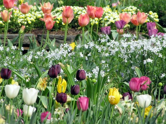 Sarah P. Duke Gardens: Tulips and other Spring beauties in Terrace Garden
