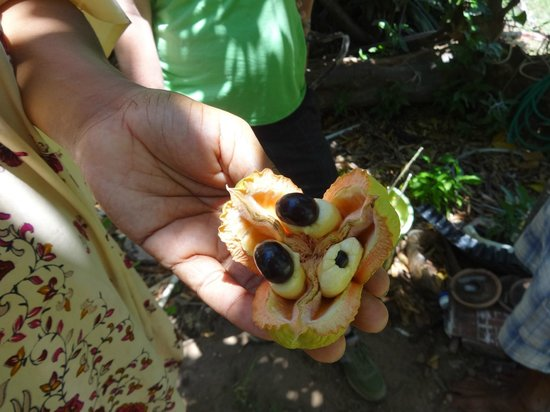 Ital Rest Cottages : ackee fruit growing on the property