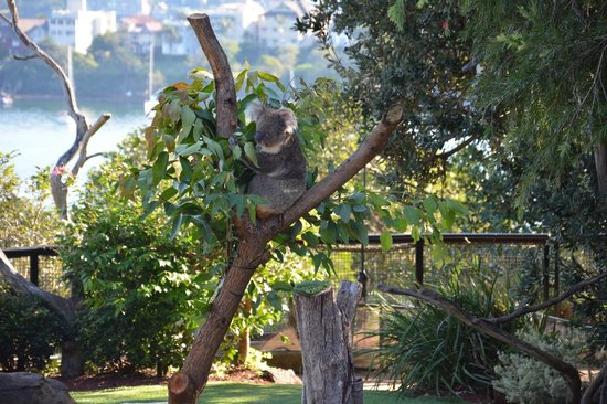 Taronga Zoo : Koala