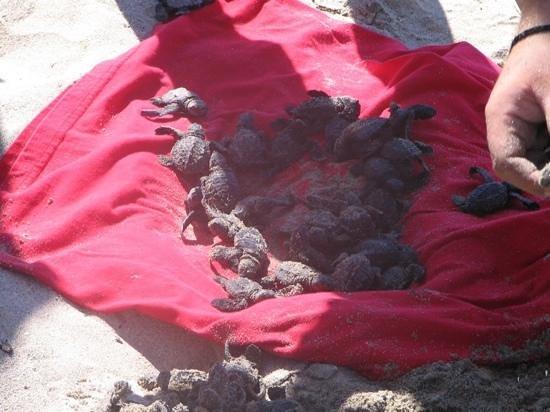 Grand Velas Riviera Nayarit: baby sea turtles