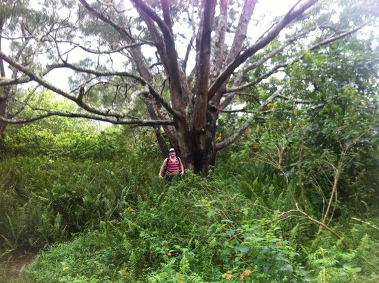 Iao Valley State Monument: A tree in one of a few clearings past the point where u can see the panoramic view on the crazy