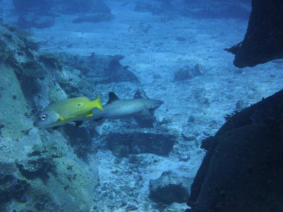 Dive Resort Seychelles: petit requin