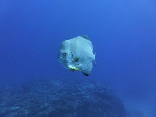 Dive Resort Seychelles: platax