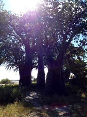 Leroo La Tau: Baine's Baobab