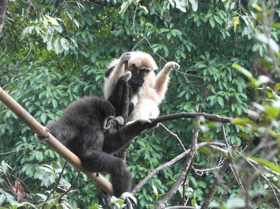 Flight of the Gibbon: gibbons