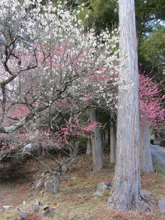 Nikko Tokanso : Cherry blossoms just beginning to flower.