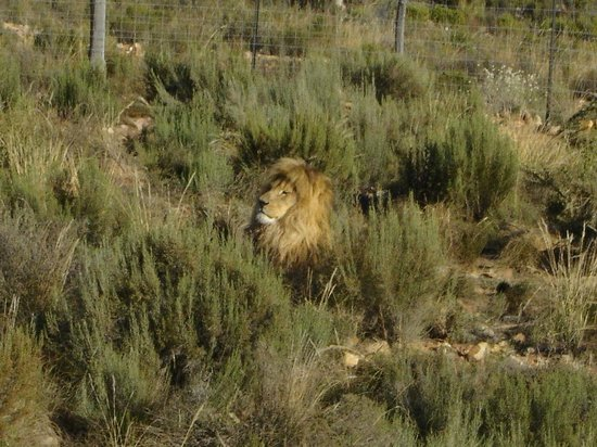 Aquila Private Game Reserve - Day Trip Safari: King of the jungle....lion