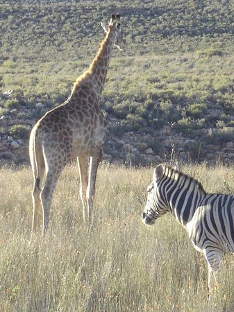 Aquila Private Game Reserve - Day Trip Safari: Giraffe and zebra hanging around