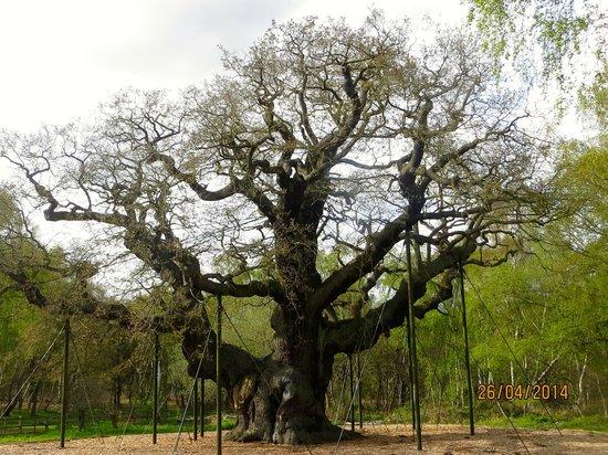 Sherwood Forest: Major Oak Tree