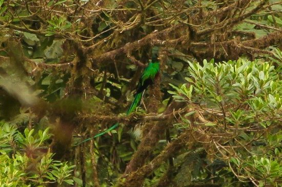 Monteverde Cloud Forest Biological Reserve: Resplendent Quetzal (from a distance)