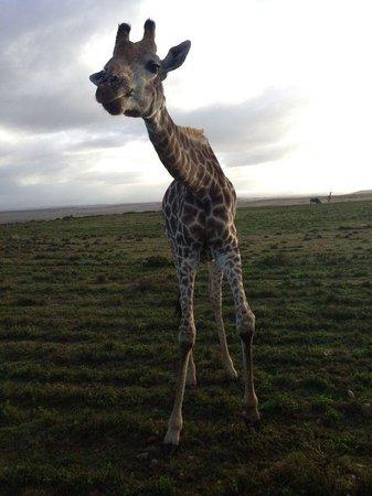 Garden Route Game Lodge: Giraffe