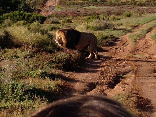 Garden Route Game Lodge: Mr Lion