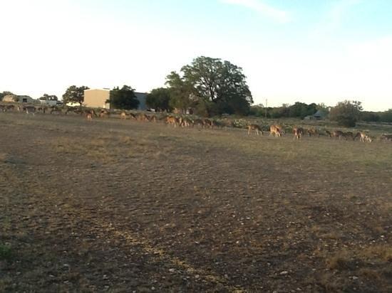 Flying L Hill Country Resort: Deer & more deer