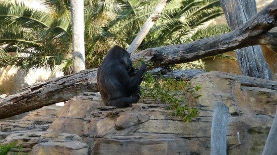 Bioparc Fuengirola: Gorilla's at home
